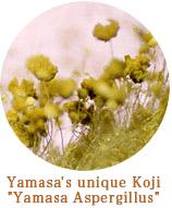 The Yamasa Aspergillus
